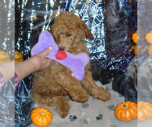 Poodle (Standard) Puppy for Sale in CLATSKANIE, Oregon USA