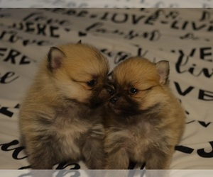 Pomeranian Puppy for sale in CLARKRANGE, TN, USA