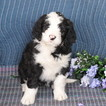 Bernedoodle Puppy For Sale in GAP, PA, USA