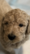 Goldendoodle Puppy For Sale in EL MIRAGE, AZ, USA