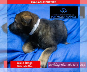 German Shepherd Dog Puppy for sale in LONG GROVE, IL, USA
