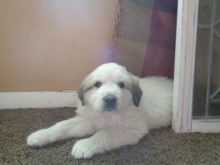 Great Pyrenees Puppy For Sale in HUNTSVILLE, IL
