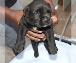 Small Photo #2 Cane Corso Puppy For Sale in MIAMI GARDENS, FL, USA