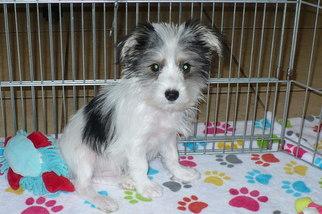 View Ad: Morkie Puppy for Sale near Arizona, TUCSON, USA ...