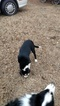 Border Collie Puppy For Sale in VERDEN, OK