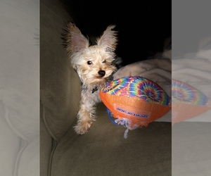 Yorkshire Terrier Puppy for sale in MANOR, DE, USA