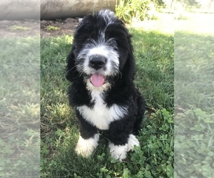 Bernedoodle Puppy for Sale in BOWLING GREEN, Kentucky USA