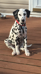 Dalmatian Puppy for sale in JOPLIN, MO, USA