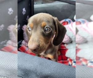 Dachshund Puppy for sale in COUNTRY LAKES, FL, USA