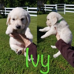 Golden Retriever Puppy For Sale in MOUNT PLEASANT, TX