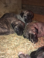 Anatolian Shepherd Puppy For Sale in WOODFORD, VA