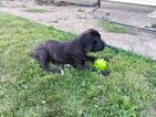 Cane Corso Puppy For Sale in CORNERSBURG, OH, USA