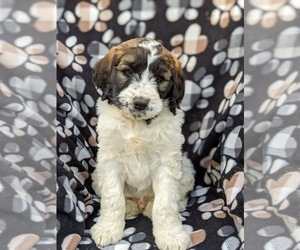 Saint Berdoodle Puppy for sale in PEACH BOTTOM, PA, USA