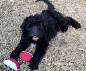 Sheepadoodle Puppy for Sale in DUNCAN, Oklahoma USA