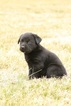 Small #1 Labrador Retriever-Siberian Husky Mix