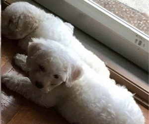 Bichon Frise Puppy for Sale in FAYETTEVILLE, Georgia USA