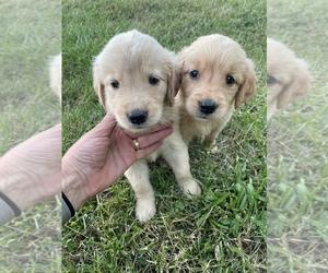 Golden Retriever Puppy for Sale in CORSO, Missouri USA
