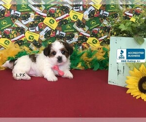 Shorkie Tzu Puppy for sale in WINNSBORO, LA, USA