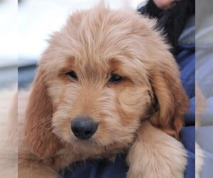 Goldendoodle Dog for Adoption in STANLEY, Wisconsin USA