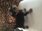 Yorkshire Terrier Puppy For Sale in ALEXANDRIA, VA, USA