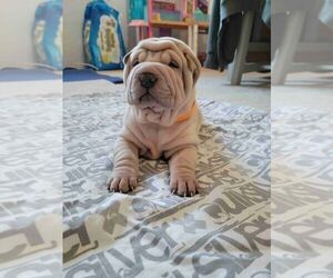 Chinese Shar-Pei Puppy for Sale in PRUNEDALE, California USA