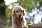 Goldendoodle Puppy For Sale in GLASGOW, KY,