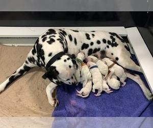 Dalmatian Puppy for Sale in CAMBRIA, Virginia USA