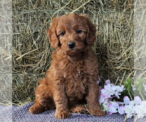 Labradoodle-Poodle (Miniature) Mix Puppy for sale in LANCASTER, PA, USA