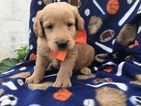 Labradoodle Puppy For Sale in PEACH BOTTOM, PA, USA