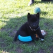 Schipperke Puppy For Sale in GRIFFITH, IN, USA