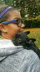 French Bulldog Puppy For Sale in GRAPEVIEW, WA