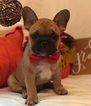 French Bulldog Puppy For Sale in HOMESTEAD, FL,