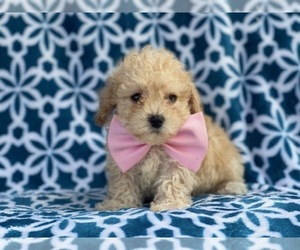 Bichpoo Puppy for sale in LAKELAND, FL, USA