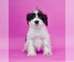 Puppy 10 Schnauzer (Miniature)