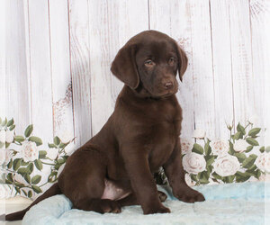 Labrador Retriever Puppy for sale in PENNS CREEK, PA, USA