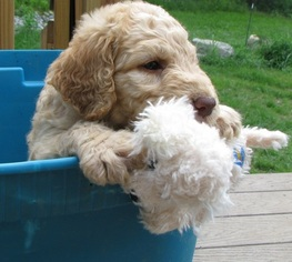 Adorable Goldendoodles  Non shedding F1B