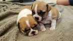 French Bulldog Puppy For Sale in FARMINGTON, Missouri,