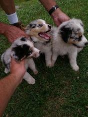Australian Shepherd Puppy For Sale in BREVARD, NC