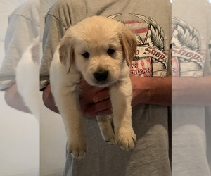 Golden Retriever Puppy for sale in WATKINS, CO, USA