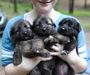 German Shepherd Dog Puppy for Sale in REDFIELD, Arkansas USA