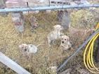 Labrador Retriever Puppy For Sale in PUEBLO, CO, USA
