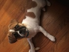 Puginese Puppy For Sale in MINNEAPOLIS, MN, USA