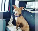 Small #373 American Staffordshire Terrier Mix