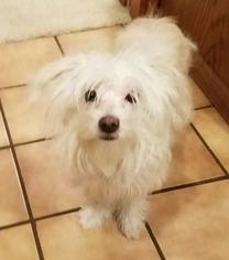 Maltichon Dogs for adoption in SNOHOMISH, WA, USA
