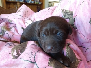 Labrador Retriever Puppy for sale in REED CITY, MI, USA