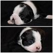 2 male boston terrier pups