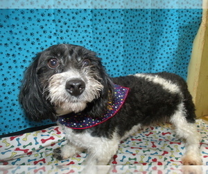 Maltipoo Dog for Adoption in PATERSON, New Jersey USA