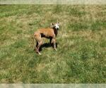 Small #17 Italian Greyhound