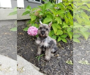 Schnauzer (Miniature) Puppy for sale in GREENWOOD, IN, USA