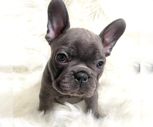French Bulldog Puppy for Sale in LAKE ELSINORE, California USA